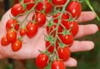 Pomodoro di Pachino Igp datterino