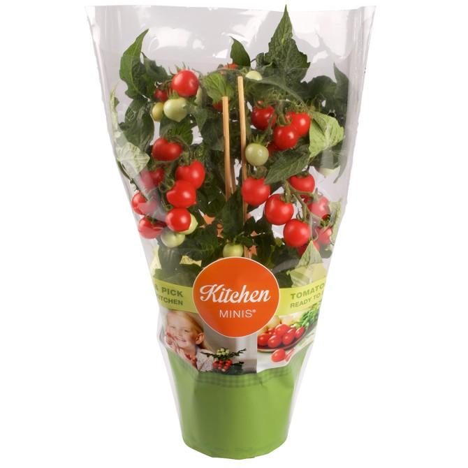 Kitchen Minis®-Tomato – Northern Greens, Danimarca. Una pianta di pomodori ciliegia per il davanzale della finestra di casa che produce fino a 150 frutti.