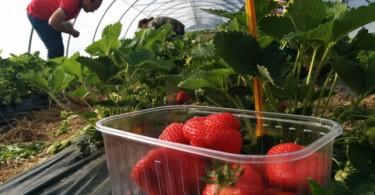 Sperimentazione fragole biologiche nelle Marche