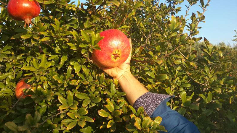 Vivaio Rosso Melograno : Melograno jolly red senza semi in albania myfruit