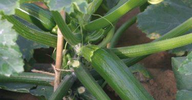 Enza Zaden, zucchino 646