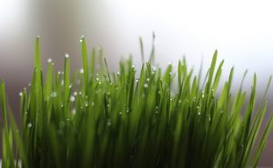 erbadigrano_ wheatgrass