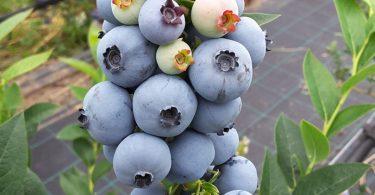 EuropeanBlueberry