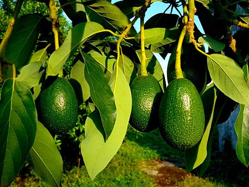 AvocadoBacon