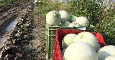 Melone Mantovano