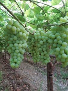 Le uve senza semi piacciono al consumatore e richiedono meno manodopera