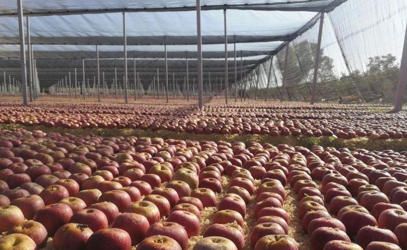 Produzione e diffusione della mela annurca