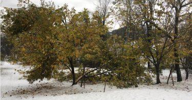 castagno danno da neve