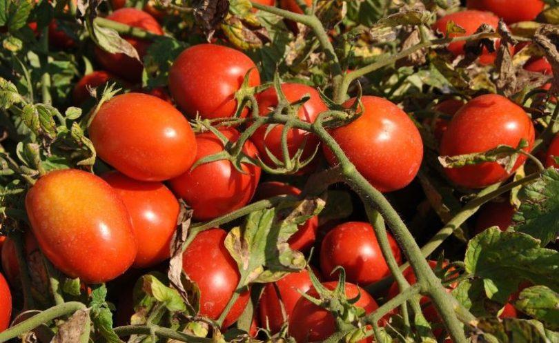 Emergenza Coronavirus, la filiera del pomodoro è operativa