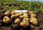 patate romagnoli