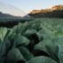 Brassiche: dopo il lungo fermo, ripartono i consumi