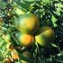 Clementine, tocca alle varietà tardive