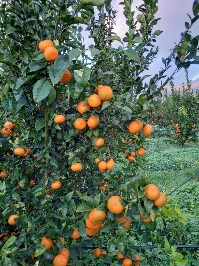 clementine apofruit