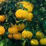 Pompìa: agrume di Sardegna tra cedro, limone e pompelmo