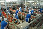 pomodoro conserve italia