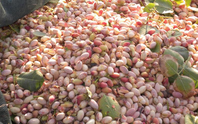 pistacchio raffadali